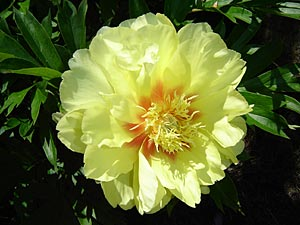 Bartzella flower form varies from semi double to double the bush is dark green with lovely large deeply cut leaves the 6 8 blooms have a lemon fragrance mightylinksfo