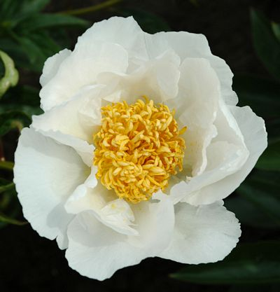 Krinkled white large white crepe paper textured petals with small tuft of golden yellow stamens in center stands up in rain spectacular in a row or grouping mightylinksfo