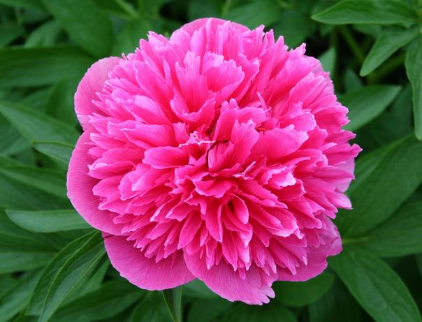 Officinalis roseaplena pink double early no staking for Paeonia officinalis